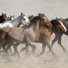 ABD'nin Batı Eyaletlerindeki Özgürlüğüne Düşkün Yabani Atlar: Mustang
