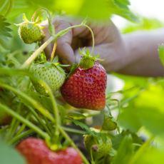 Bitkiler Neden Bize Meyve Verir?