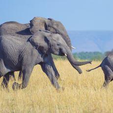 Birbirinden Çok Uzakta Olmasına Rağmen Kusursuz İletişim Kurabilen Fillerin Sırrı