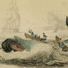 Dünyaca Ünlü Moby Dick Romanına İlham Veren İki Gerçek Balinanın Hikayesi
