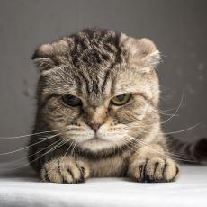 Kedinizin Ne Hissettiğini Anlayabilmek İçin Öğrenmeniz Gereken Bir Kavram: Kedi Dili