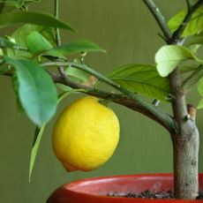 Evde Yetiştirmesi Çok Kolay ve Zevkli Olan Şahane Bitki: Limon Ağacı