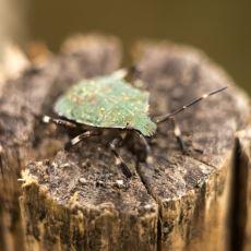 Sıkça Rastlanılan Ama Pek de Tanınmayan Osuruk Böceği Hakkında Ufak Bilgiler