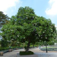 Yüzlerce İnsanın Kendini Öldürmek İçin Meyvesini Yediği Acayip İntihar Ağacı: Cerbera Odollam