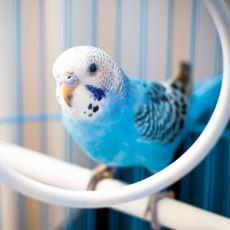 Kritik Detaylarla Donatılmış Bir Muhabbet Kuşu Bakım Rehberi