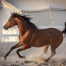 Bugün Yeryüzünde Mevcut Olan At Irklarının En Eskisi: Arap Atı ve Özellikleri