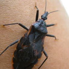 Her Yıl 10 Binden Fazla İnsanın Canını Alan Hayvan: Öpücük Böceği