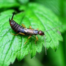 Kulakla Hiç İşi Olmadığı Halde Kötü Bir Üne Sahip Olan Böcek: Kulağakaçan