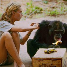 Şempanzelerle Birlikte Yaşayarak Bilim Dünyasını Aydınlatan Kadın: Jane Goodall