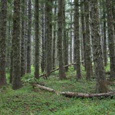 Tarih Boyunca Yanan Ancak Her Defasında Küllerinden Doğan Doğa Harikası: Tillamook Eyalet Ormanı