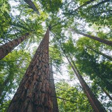 Ağaçlar Ortalama Olarak Kaç Yıl Yaşar?