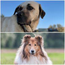 Lassie ile Sivas Kangal Arasındaki Yaran Farklar