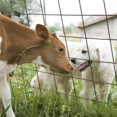 Neden Köpekleri Severken İnekleri Yiyoruz?