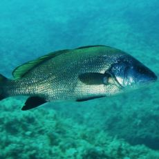 Böbrek Taşı ve Kumuna da İyi Gelen Lezzetli Balık: Eşkina