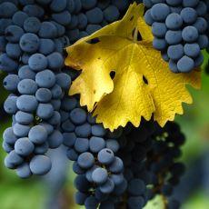 Şaraplık Üzümü Sofra Üzümünden Ayıran Farklar Nelerdir?