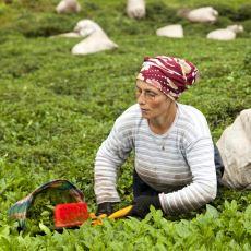 Cumhuriyetin İlk Yıllarında Türkiye'nin Çay Üretebilmek İçin Gösterdiği İnanılmaz Sabır