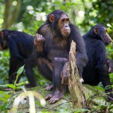 Tam 4 Yıl Süren İlginç Bir Tarihi Olay: Gombe Şempanze Savaşı