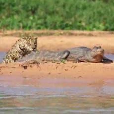 Doğada Neler Yaşandığının En Aksiyonlu Kanıtlarından Biri: Sudan Çıkıp Timsah Avlayan Jaguar
