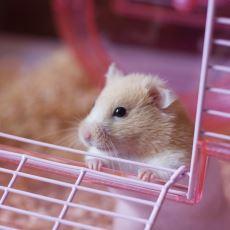 Hamster Beslemek İsteyenler İçin Detaylı Bir Tavsiye Listesi