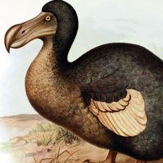 Kendi Halinde Takılırken İnsanlar Yüzünden Nesli Tükenen Kuş: Dodo