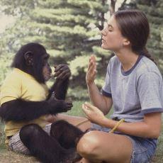 Uzun Yıllardır Eğitim Verilen Primatlardaki Dil Kabiliyeti Nasıl Gelişiyor?