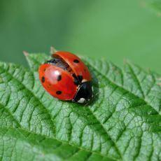 Üzerimize Konduklarında Mutlu Olduğumuz Uğur Böceklerinin Aslında Acımasız Birer Avcı Olması