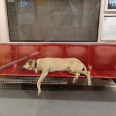 İstanbul'u Toplu Taşımayla Turlayan Köpek Boji Hakkında Karşıt Görüşlü İki Taraf