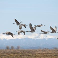 Göçmen Kuşlar Yönlerini Nasıl Buluyorlar?