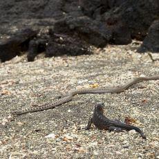 2 Dakika 20 Saniyelik Efsane Bir Gerilim: Yılanların Mahallesinde Kovalanan İguana