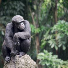 Şempanzenin İnsandan Daha Güçlü Olmasının Nedenleri