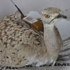 Türkiye'de 7 Yıl Sonra İlk Kez Görülen Yakalı Toy Kuşunun Yozgat'ta Vurulması