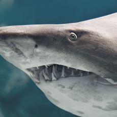 İnsanlar İçin En Büyük Tehlikeyi Oluşturan Köpek Balığı Türü: Boğa Köpek Balığı