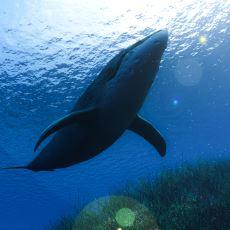 Akciğer Solunumu Yapabilen Balinalar Neden Karaya Çıktıklarında Ölüyor?