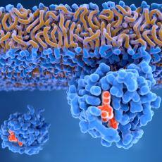 Hücrenin Her An Tetikte Bekleyen İntihar Mekanizması: Apoptozis