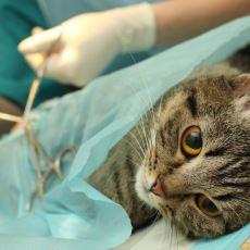 Kedi Kısırlaştırmak Bir Zalimlik mi Yoksa Uygulanması Elzem Olan Doğal Bir Müdahale mi?