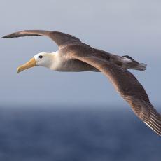 Tuzlu Suyu Filtreleyerek Okyanusu Aşabilen Muazzam Bir Kuş: Albatros