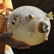 Yemesi Gerçekten Cesaret İsteyen, Binlerce Kişinin Ölümüne Sebep Olmuş Zehirli Balık Fugu
