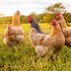 Tavuklar Hakkında Keyfinizi Yerine Getirecek İlginç Trivia'lar