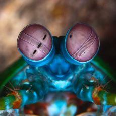Korkuların Bile Rengini Görebilen Mantis Karidesi Kanser Rengini de Teşhis Edebilir mi?