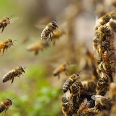 Liderlik Kavramının Gözlemlendiği Arılar, Kendi Aralarında Bu Seçimi Nasıl Yapıyor?