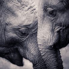 Hayvanlar Aleminin Şirin Üyesi Fillerin Hintliler Tarafından Korkunç Evcilleştirme Yöntemi