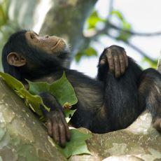 Maymunların İnsanlarla Ne Kadar Çok Ortak Noktası Olduğunu Gösteren GIF'ler