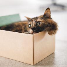 Kediler Kutu Bulunca Neden İçine Girer?