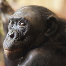 İnsanlar Gibi Yüz Yüze Sevişebilen ve Bunu Sadece Zevk İçin Yapan Bir Hayvan: Bonobo