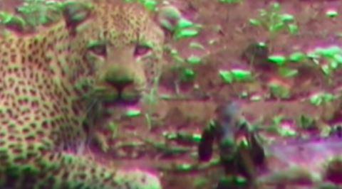 Doğanın Acımasızlığını Fazlasıyla Gösteren Olay: Leoparın Yeni Doğan Antilobu Yemesi