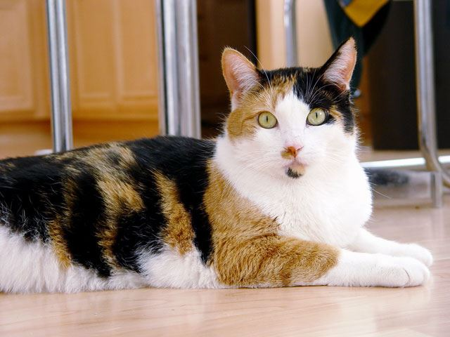 3 renkli kedi ile ilgili görsel sonucu