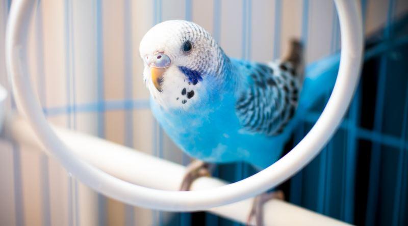 Kritik Detaylarla Donatılmış Bir Muhabbet Kuşu Bakım Rehberi Ekşi