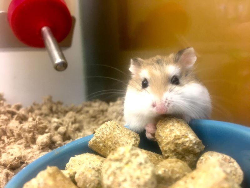 hamster yemek ve su