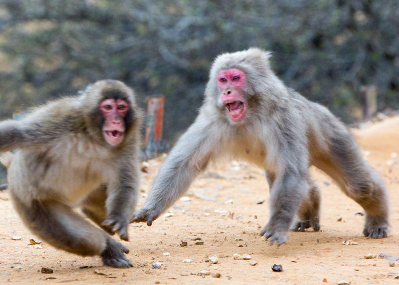 İnsan ve Maymun Irkının Bir Ortak Noktası Daha: Saldırgan Davranışlarda Benzer Tutumlar