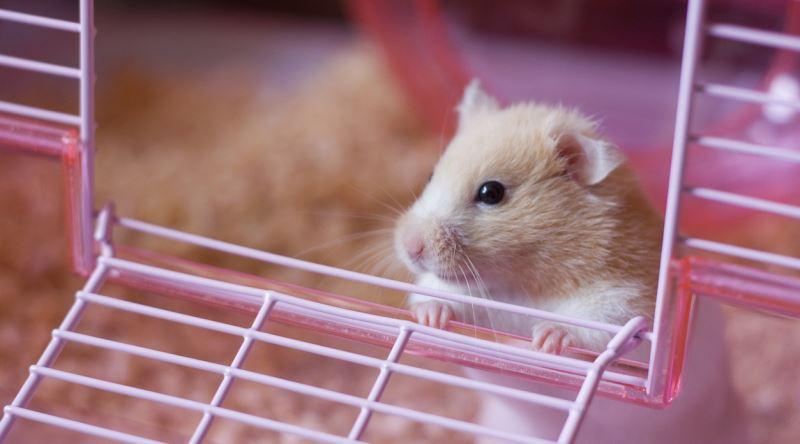 Cüce Hamster Büyük Evcil Hayvanlar Yapıyor